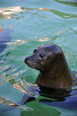 Phoca - Seal — Stock Photo