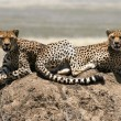 Two cheetahs - Stock Photo