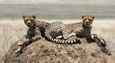 Two cheetahs — Stock Photo