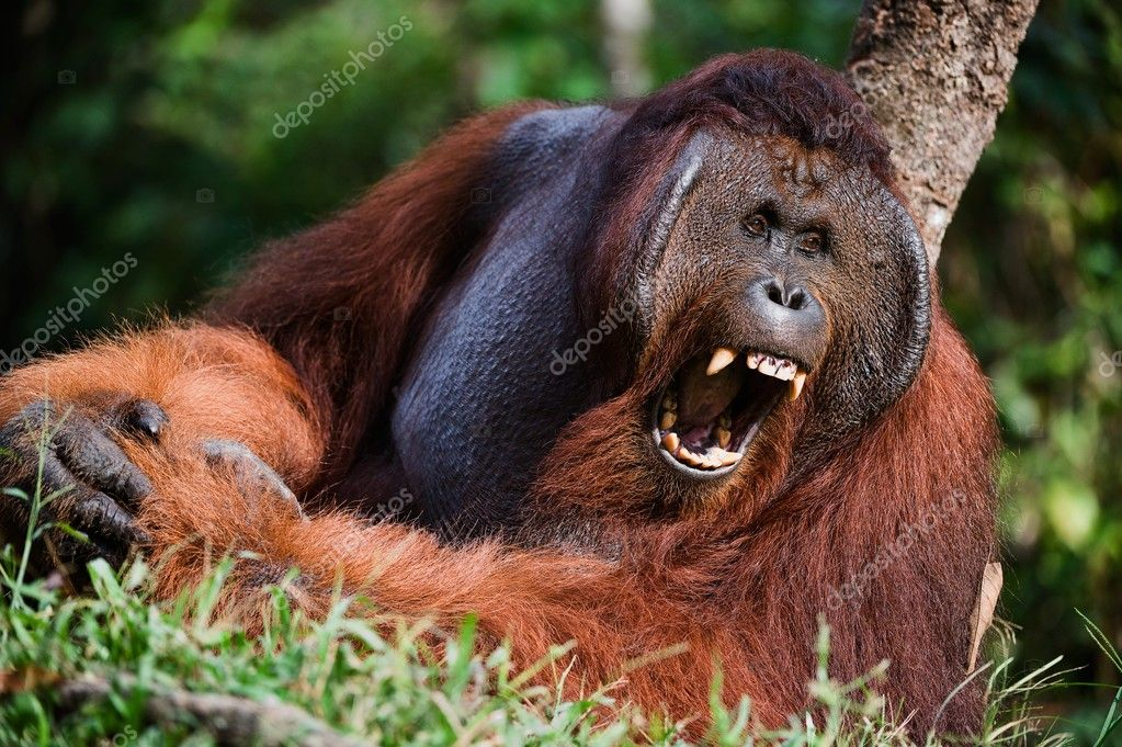 Indonesia, Borneo. Yawning Orangutan . — Stock Photo #3628054