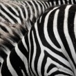 Zebra stripes. — Stock Photo