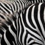 Zebra stripes. — Stock Photo