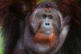 Portrait of Orangutan. — Stock Photo