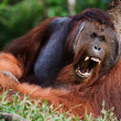 Royalty-Free Stock Photo: Yawning Orangutan
