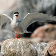 Stock Photo: Common Tern