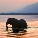 Elephant on the river Zambezi. — Stock Photo #3691536