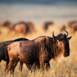 Black Wildebeest. — Stock Photo