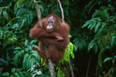 Young Orangutan on the tree — Stock Photo