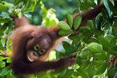 Little Orangutan on the tree. — Stock Photo