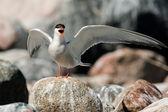 Common Tern — Stock Photo