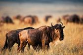 Black Wildebeest. — Stockfoto