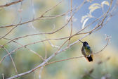 The humming-bird in branches. — Stock Photo