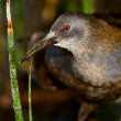 The Virginia Rail. (Rallus limicola) - Stock Photo