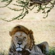Portrait of a lion. - Stock Photo