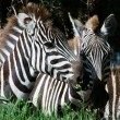 Royalty-Free Stock Photo: Double portrait of zebras.