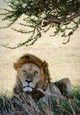 Porträtt av ett lejon. — Stockfoto