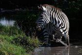 Cebra en agua. — Foto de Stock