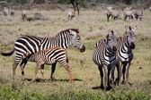 Feeding of a foal of a zebra. — Stock Photo