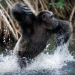 Chimpanzee in water - Stock Photo