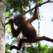 Cub of the orangutan on a branch. — Stock Photo