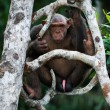 Chimpanzee on a tree. — Stock Photo