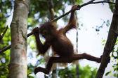 Cub of the orangutan on a branch. — Stock Photo