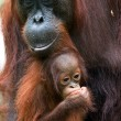 The orangutan with a cub - Stok fotoraf