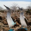 Marriage dances of Blue-footed Boobyis — Stock Photo #3745593
