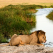 Royalty-Free Stock Photo: Lion on a watering place.
