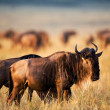 Постер, плакат: Wildebeest on a sunset