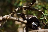Australian magpie studies a knot. — Stock Photo