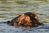 Hippopotamus with baby. — Stock Photo