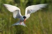 Flitting Tern. — Stock Photo