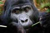 The gorilla eating. — Stock Photo