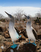 Marriage dances of Blue-footed Boobyis — Stock Photo