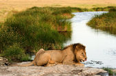 Lion on a watering place. — Foto Stock
