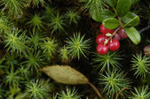 Cowberry - a wood berry. — Stock Photo