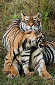 Tigress with a kitten. — Stock Photo