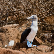 Blue-footed booby. — Stock Photo