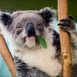 The koala in eucalyptus branches. — Stock Photo