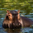 Hippopotamus. — Stock Photo #3757585