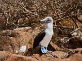 Blå-footed booby. — Stockfoto