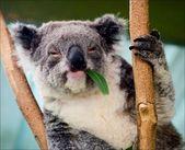 The koala in eucalyptus branches. — Stock Photo