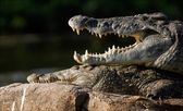 Mouth of a crocodile. — Stock Photo