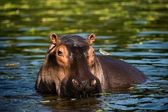 The hippopotamus. — Stock Photo
