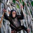 Kid of chimpanzee. — Stock Photo #3778681