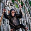 The kid of a chimpanzee. - Stock Photo