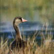Goose. — Stock Photo