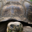 Galapagos Turtle. — Stock Photo