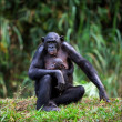 Bonobo with a cub. — Stock Photo